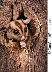 Peeking Sugar Glider - Closeup of a Sugar Glider squirrel...