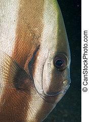 Peeping batfish - A close up on a batfish, Sulawesi,...