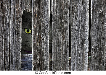 Peeping Tom Cat - Tom cat peeking though old barn wood...