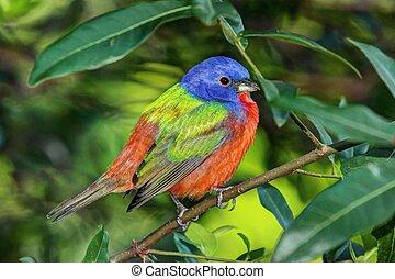 peint, bruant,  ciris),  (passerina