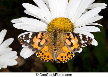 peint, papillon, dame, pâquerette