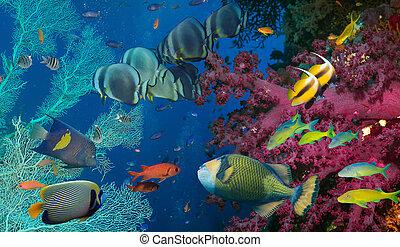 peixe, coral