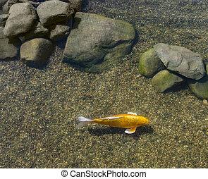 peixe, decorativo, lagoa