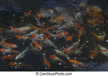peixe, goldfish, lagoa, piscina, muitos, conceito