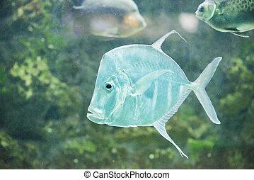 peixe, lookdowns-selene, vomer, prata, moonfish