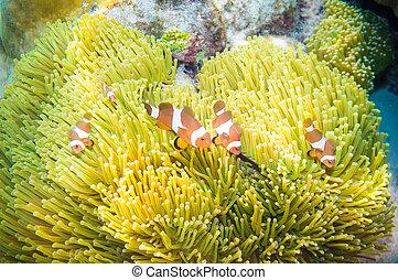 peixe, nemo, anfitrião, anemone