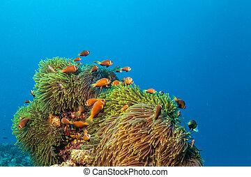 peixe, nemo, palhaço, anfitrião, anemonefish, anemone