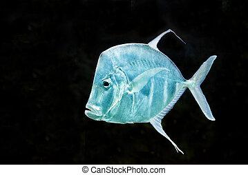 peixe, prata, vomer, moonfish