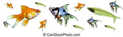 peixe, tropicais