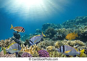 peixe tropical, recife coral
