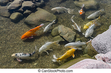 peixes, decorativo, lagoa