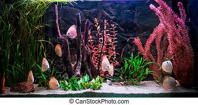 peixes, freshwater, ttropical, aquário