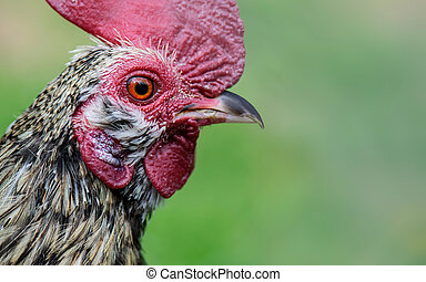 pekin, joven, casta, espécimen, pollo