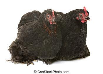 pekin, pollo, estudio