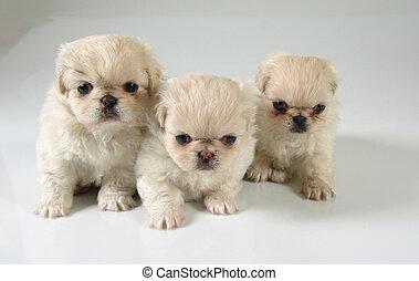 Six weeks old pure breed Pekinese puppies