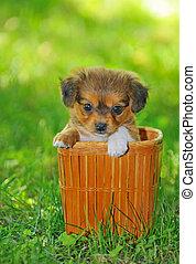 pekinese, filhote cachorro, cão