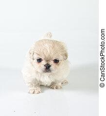 Pekinese puppy