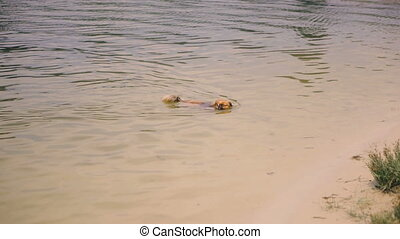 Pekingese breed dog swims in the lake