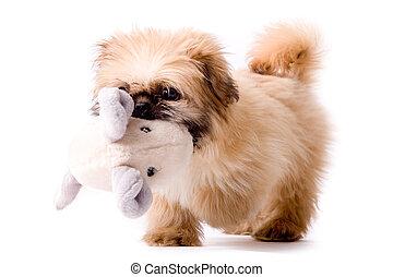 Pekingese dog brings you his toy - Cute little pekingese dog...