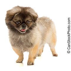 Pekingese dog in stand