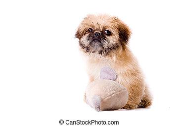 Pekingese dog wants to play