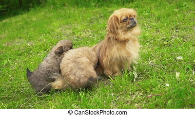 Pekingese dogs in nature