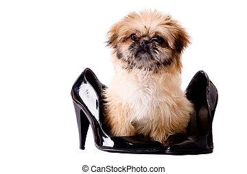 Pekingese pump dog - Cute little pekingese dog isolated on...