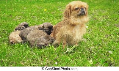 Pekingese puppies are sleeping together