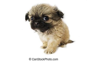 Pekingese puppy - Cute little pekingese puppy on white...