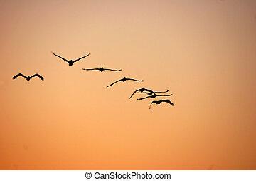pelícanos, en vuelo, en, salida del sol, sanibel, florida