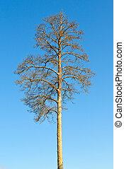 pelado, árvore