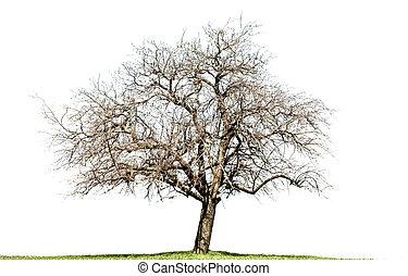 pelado, árvore carvalho, isolado, branco