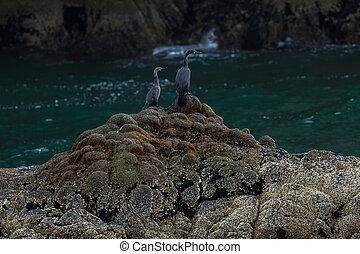 Pelagic cormorant nesting on the rocks in Pacific Ocean. -...