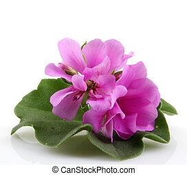 pelargónie, květiny