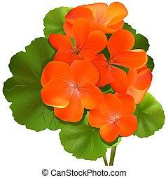 Pelargonium flower (Geranium) - Highly detailed and coloured illustration