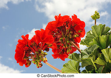 pelargonium, -, geranio, rojo, jardín