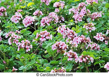 pelargonium (geranium) flower, blooming in a garden