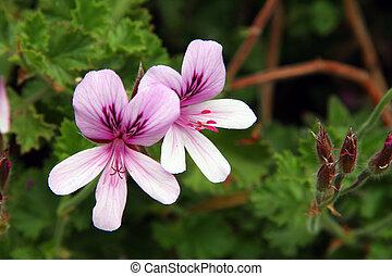 (pelargonium, nervosum), pelargonium, cal