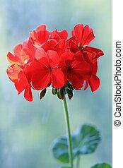 pelargonium, rojo