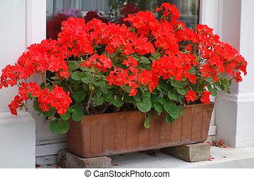 pelargoniums, caja, ventana, rojo