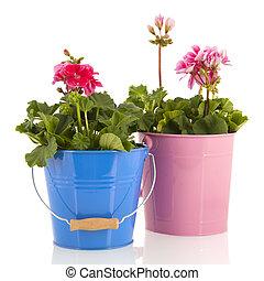 pelargoniums, jardín