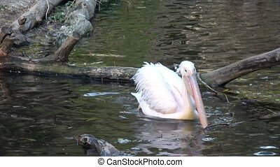 Pelecanus onocrotalus also known as the eastern white...