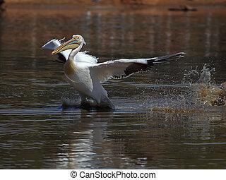 pelecanus  - Great White Pelican  taking off from water