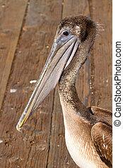Pelican at the Pier in San Francisco Bay
