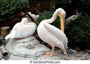 Pelican bird at the Dalian Zoo, China
