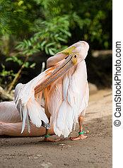 Pelican. Big bird on the beautify