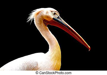 Pelican bird isolated on black background