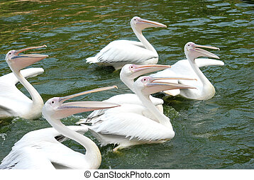 pelican birds swim in lake