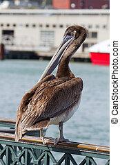 Pelican by the Pier in San Francisco Bay