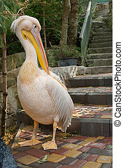 Pelican cleaning its plumage